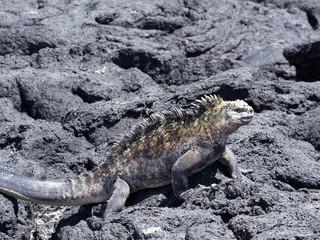 Marine Iguana, Amblyrhynchus cristatus albemarlensis, is a subspecies on Isabela Island, Galapagos, Ecuador