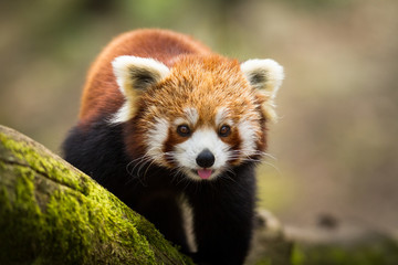 Photo sur Aluminium Panda Red Panda - Panda Roux