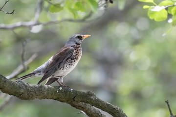 Fieldfare bird on a branch close up, Turdus pilaris. Ukraine. Hunting bird.