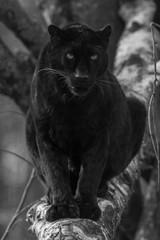 Deurstickers Panter Black Panther - Panthère Noir