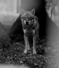 Grey Wolf - Loup Gris