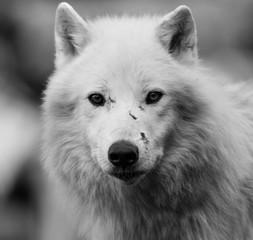Biały Wilk - Loup Blanc