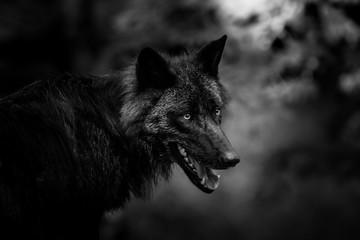 Loup Noir - Black Wolf