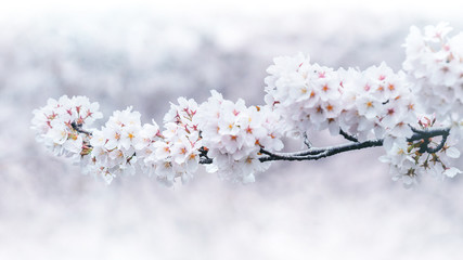 Wall Mural - Cherry blossoms blooming in Spring. Spring background. Cherry blossoms in nature with soft focus.