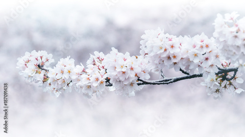 Wall mural Cherry blossoms blooming in Spring. Spring background. Cherry blossoms in nature with soft focus.