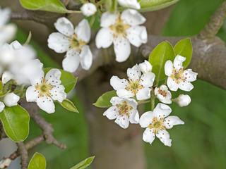 Birnenblüte, Obstbaumblüte, Frühling