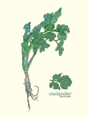 Coriander vector hand drawn illustration set.