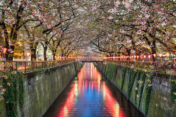 Cherry blossom trees in Tokyo, Japan