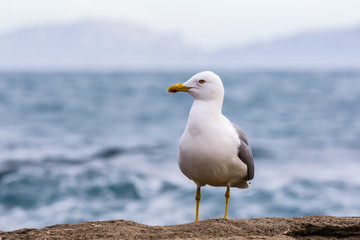gull in close up