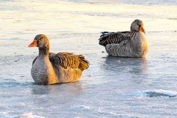 Graugänse auf dem Eis