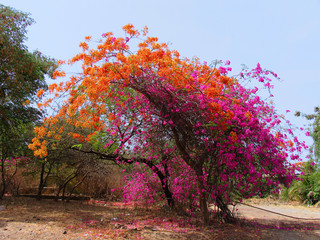 Bougainvillea, Family: Nyctaginaceae, Shrubs Tropical/Tender Perennials Vines and Climbers