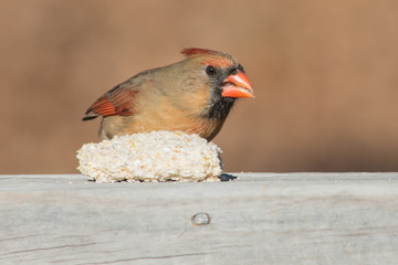 With a bokeh background, the photographer draws attention to this beautiful feeding female cardinal in Missouri.