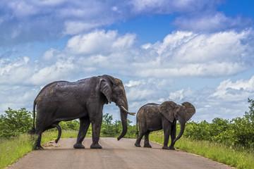 African bush elephant in Kruger National park, South Africa