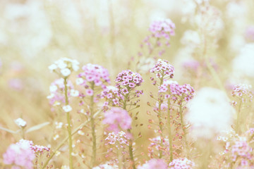 Wall Mural - Pink and white summer flowers in a meadow