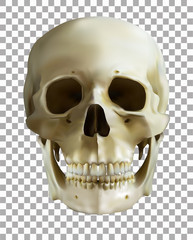 human skull on transparent background. realistic vector. vector