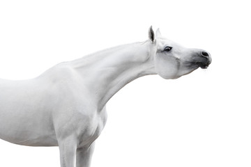 Gray arabian horse on white background isolated