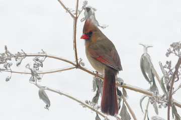 Female Northern Cardinal Perched in ice