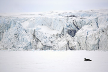 Ringed Seal in the Ice, With Tall Ice Masses in the Background. Mohnbukta, Svalbard, Norway