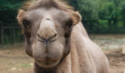 Camel face's close-up picture