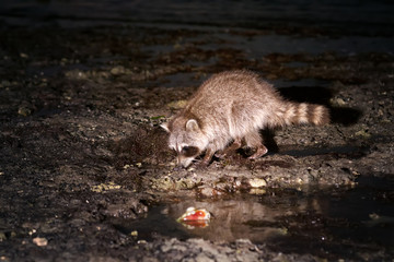 Raccoon searches mollusks for littoral during low tide. Animal in a natural habitat. Night Scene