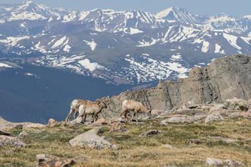 Rocky Mountain Bighorn Sheep Ewes