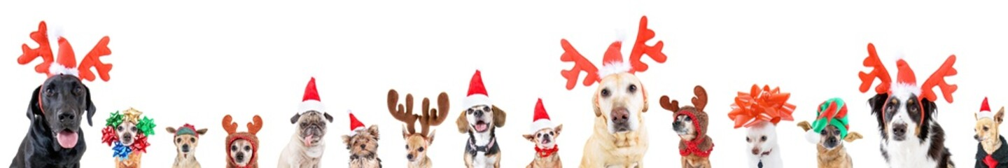 Spoed Fotobehang Hond group of various dog breeds with different christmas hats or costumes on an isolated white background