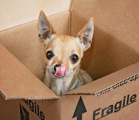 a tiny chihuahua in a brown cardboard mailing box marked fragile licking his nose with a wet pink tongue