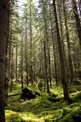 Sunshine on a moss in forest. National Park Sumava, Czech Republic.