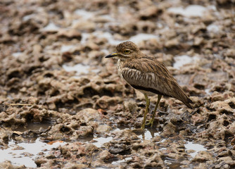 Water thick-knee or water dikkop (Burhinus vermiculatus) iduring the rain in the Serengeti