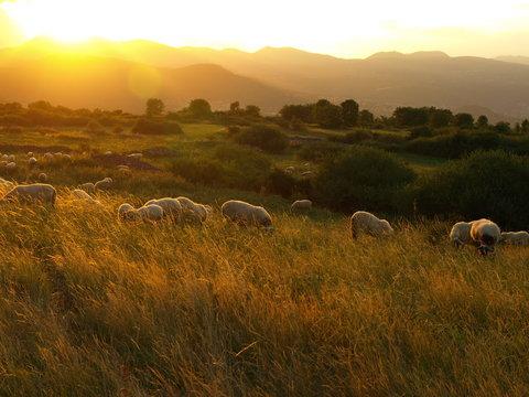 Moutons au coucher de soleil