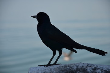 Black bird silhouette on sea