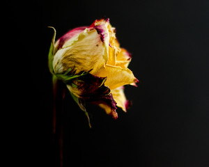 Dying rose on Black Background
