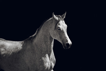 Arabian stallion posing on a black background