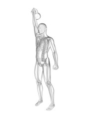 Person lifting kettle bell, skeletal system, illustration