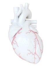 Human heart coronary arteries, illustration