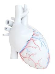 Human heart coronary blood vessels, illustration