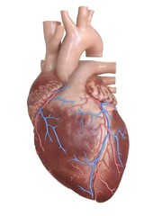 Human heart coronary veins, illustration