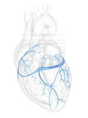 Human heart coronary veins, illustration