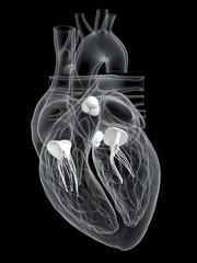 Human heart valves, illustration