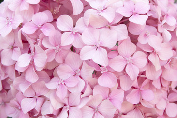Printed kitchen splashbacks Hydrangea pink flower texture of hydrangea