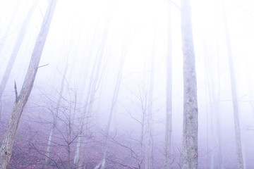 Fog Woods in the Deep Mysterious Forest of the Mountains