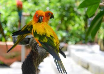 Sonne Conure Papagei
