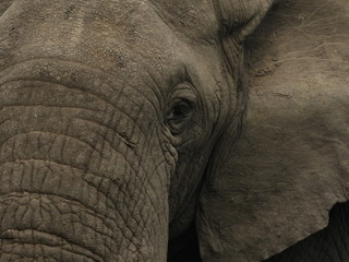 Elefanten in Afrika - Uganda - Wildlife