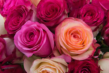 Beautiful roses closeup
