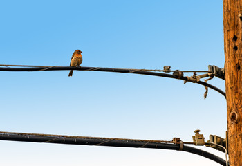 House Finch perched on power line