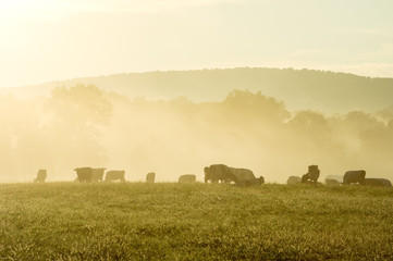 Wall Mural - Cows in the Misty Morning Sunrise