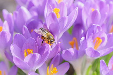 Bee picking pollen from crocus flower. Early spring close-up flowers and working honeybee.