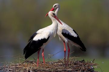 Para ptaków Bocian biały na gniazdo w okresie gniazdowania wiosną