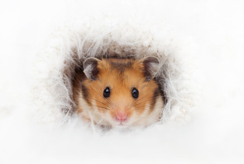 cute Syrian hamster in a fluffy hole