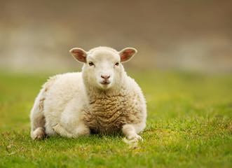 Young Shetland sheep lying on the grass